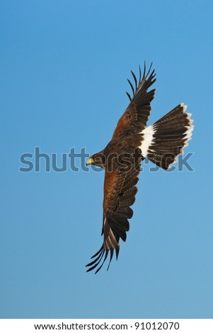 Harris Hawk in Flight - stock photo