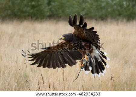 Shutterstock Harris hawk in flight over field.