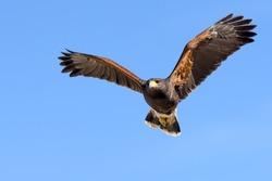 Harris Hawk in fright against clear sky.