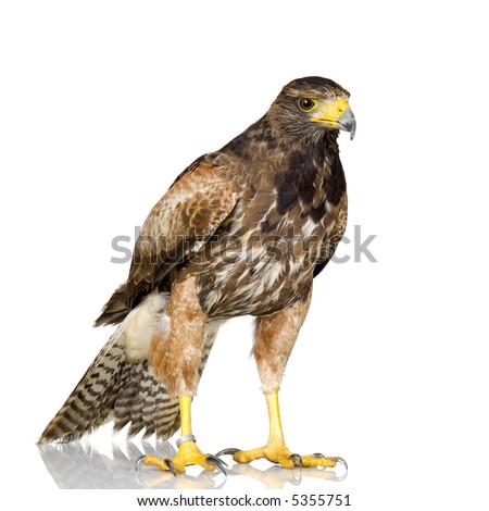 Harris Hawk in front of a white background