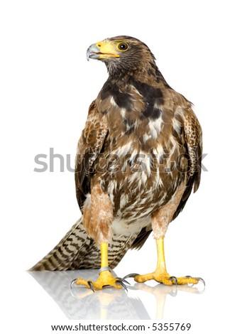 Shutterstock Harris Hawk in front of a white background