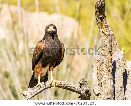 Shutterstock Harris Hawk in Tucson Arizona
