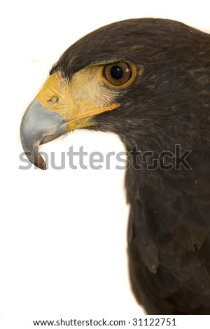 Harris Hawk, Isolated on white background.