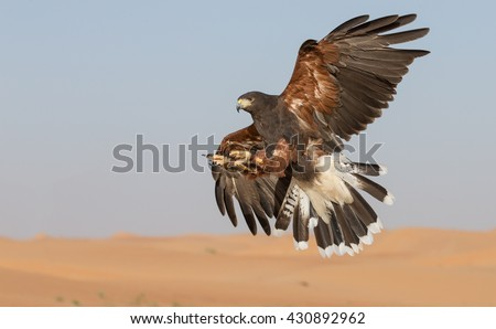 Harris Hawk (parabuteo Unicinctus)  in flight in a desert near Dubai