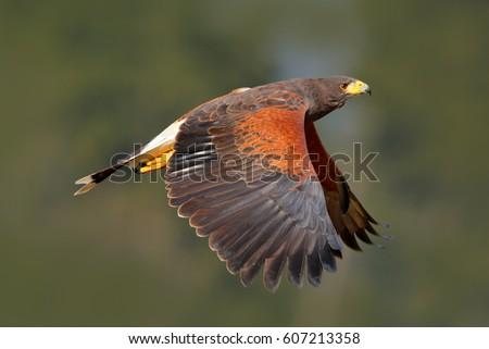Shutterstock Harris Hawk, Parabuteo unicinctus, in flight. Wildlife animal scene from nature. Flying bird of prey. Wildlife scene from Mexican nature.