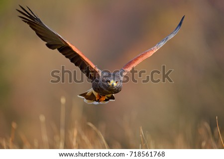 Shutterstock Harris Hawk, Parabuteo unicinctus, landing. Wildlife animal scene from nature. Bird, face flight. Flying bird of prey. Wildlife scene from Mexico nature. Florida, USA, wild forest. Bird in fly.