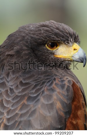 Harris Hawk (Parabuteo unicinctus) - portrait. Bay-winged Hawk, Dusky Hawk.