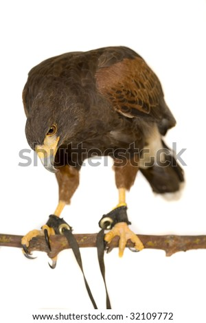 Harris Hawk, Parabuteo unicinctus, Southwestern USA, Chile, Central Argentina, Western Europe, Britain, Isolated on a white background.