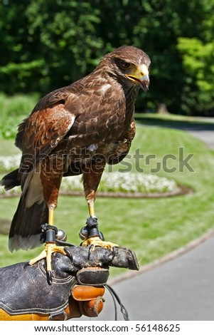 Harris' Hawk sitting on the glove