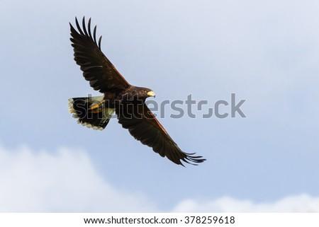 Shutterstock Harris Hawk soaring in a blue sky. A magnificent Harris hawk spreads its wings as it soars across a blue sky.