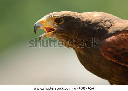 Shutterstock harris hawk up close (parabuteo unicinctus)
