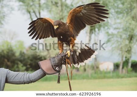 Shutterstock Harris's hawk