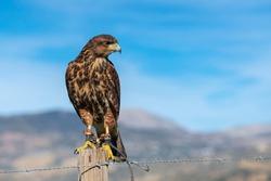 Harris's hawk, bay-winged hawk, dusky hawk or peuco (Parabuteo unicinctus) Malaga, Spain