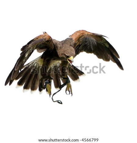 Harris's Hawk (18 months) in front of a white background