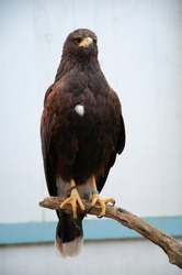 Harris's hawk (Parabuteo unicinctus), formerly known as the bay-winged hawk or dusky hawk.
