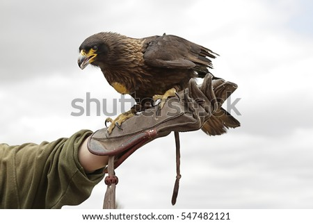 Shutterstock Harris's hawk (Parabuteo unicinctus) in the hands of a falconer