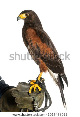 Shutterstock Harris's hawk, Parabuteo unicinctus, perching on falconer's glove against white background