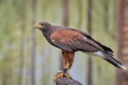 Harris's hawk, the bay-winged hawk or dusky hawk, a medium-large bird of prey. Harris's hawks have been used in falconry