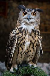 Harry Potter's owl close up. It always looking amazing on camera that beautiful. Ron Weasley, Harry's friend, also has an owl, named Pigwidgeon, a Scops Owl
