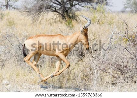 Hartebeest (Alcelaphus buselaphus), running, Etosha National Park, Namibia #1559768366