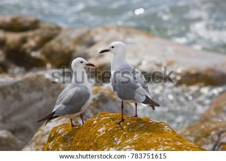 Hartlaub's gulls or king gull, Chroicocephalus hartlaubii, standing on the rocky beach #783751615