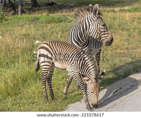 Hartmann\'s Mountain Zebras standing at the edge of grassland