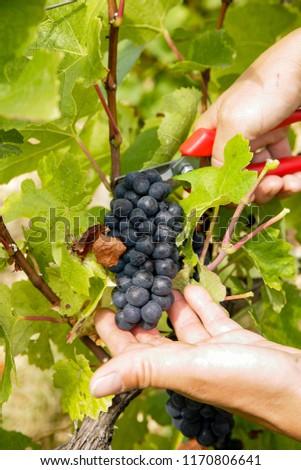 Harvest A hand that cuts grapes #1170806641
