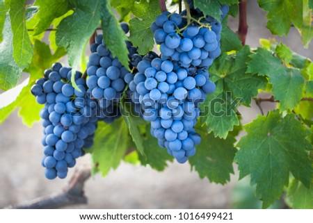 Harvest coming soon in the vineyard.