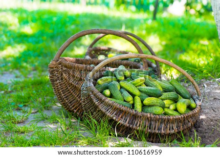 Harvest cucumbers in a baskets on the grass