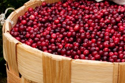 Harvest fresh red cranberries cranberries, lingonberries, cowberries in wicker basket. Autumn concept. Red wallpaper of berries close-up