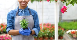 Harvest from work of farmer. Smiling african american girl in apron and gloves holds pot with plant in interior of greenhouse with bright multicolored flowers, cropped, panorama