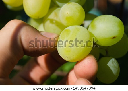 Harvest grapes. Large grapes. Grapes and winemaking. Large grapes. #1490647394