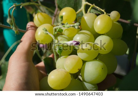 Harvest grapes. Large grapes. Grapes and winemaking. Large grapes. #1490647403