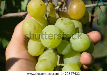 Harvest grapes. Large grapes. Grapes and winemaking. Large grapes. #1490647433