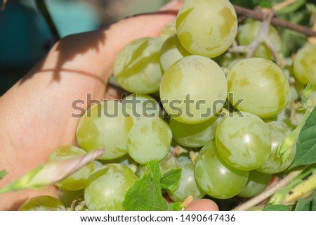 Harvest grapes. Large grapes. Grapes and winemaking. Large grapes. #1490647436