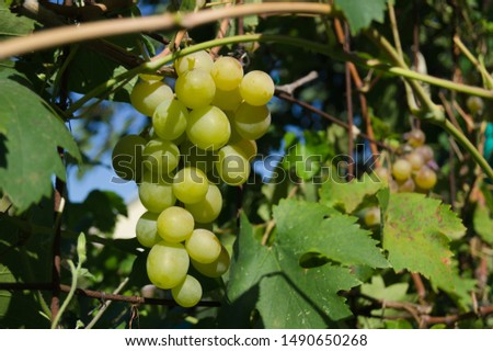 Harvest grapes. Large grapes. Grapes and winemaking. Large grapes. #1490650268