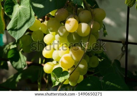 Harvest grapes. Large grapes. Grapes and winemaking. Large grapes. #1490650271