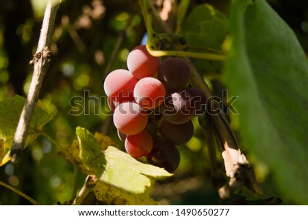 Harvest grapes. Large grapes. Grapes and winemaking. Large grapes. #1490650277