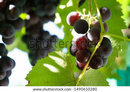 Harvest grapes. Large grapes. Grapes and winemaking. Large grapes. #1490650280