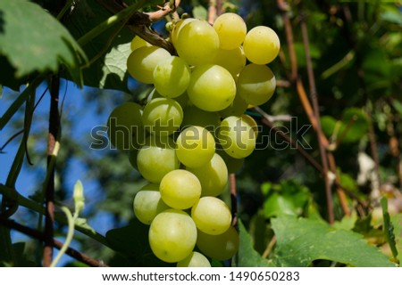 Harvest grapes. Large grapes. Grapes and winemaking. Large grapes. #1490650283
