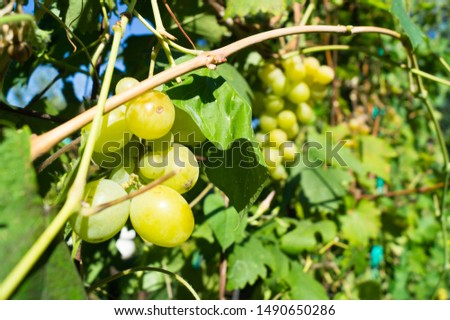 Harvest grapes. Large grapes. Grapes and winemaking. Large grapes. #1490650286