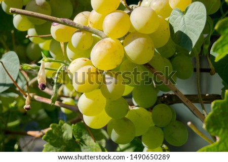 Harvest grapes. Large grapes. Grapes and winemaking. Large grapes. #1490650289