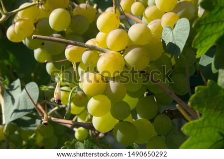 Harvest grapes. Large grapes. Grapes and winemaking. Large grapes. #1490650292