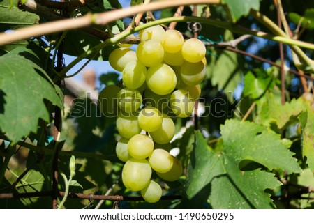 Harvest grapes. Large grapes. Grapes and winemaking. Large grapes. #1490650295