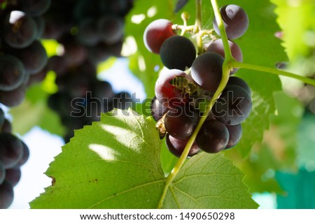 Harvest grapes. Large grapes. Grapes and winemaking. Large grapes. #1490650298
