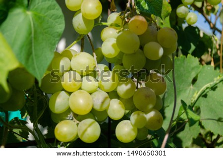 Harvest grapes. Large grapes. Grapes and winemaking. Large grapes. #1490650301