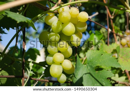 Harvest grapes. Large grapes. Grapes and winemaking. Large grapes. #1490650304