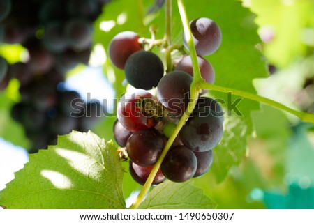 Harvest grapes. Large grapes. Grapes and winemaking. Large grapes. #1490650307