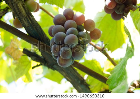 Harvest grapes. Large grapes. Grapes and winemaking. Large grapes. #1490650310