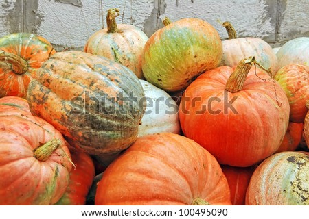 Harvest of beautiful big ripe autumn pumpkin